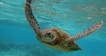 Proiect inedit: bateriile solare vor ajuta la salvarea de la dispariție a unor țestoase din Australia