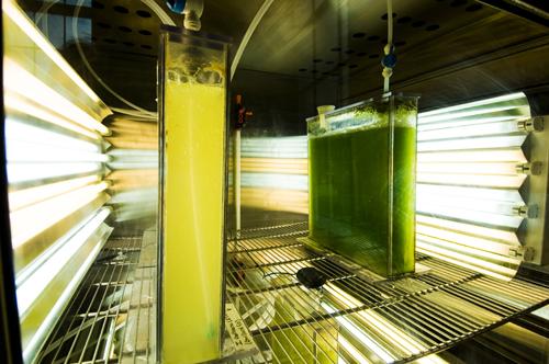 biocombustibil din alge